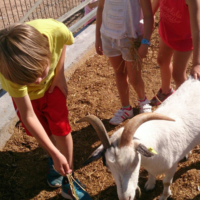 cabras en la granja escuela en un campamento de verano en valencia